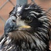 5-24-11 Daily Wildlife Picture Golden Eagle Profile