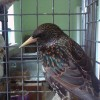 5-26-11 Daily Wildlife Picture European Starling