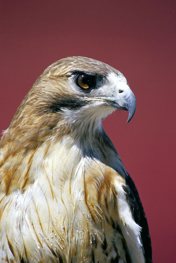 5-29-11 Daily Wildlife Picture Red Tail Hawk