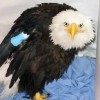 5-30-11 Daily Wildlife Picture Injured Bald Eagle