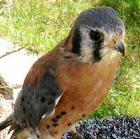 Captain Jack - Sparrow Hawk (Kestrel)