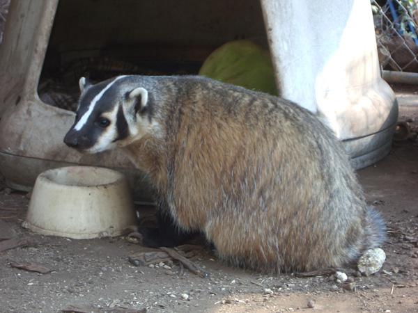 Dhru - American Badger