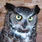 Ewok - Great Horned Owl (Bubo virginianus)