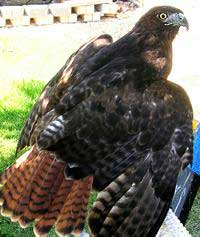Gaea - Red Tail Hawk (Buteo jamaicensis)