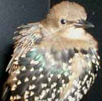 Harry - European Starling