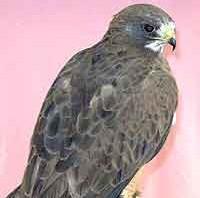 Maya - Swainson's Hawk