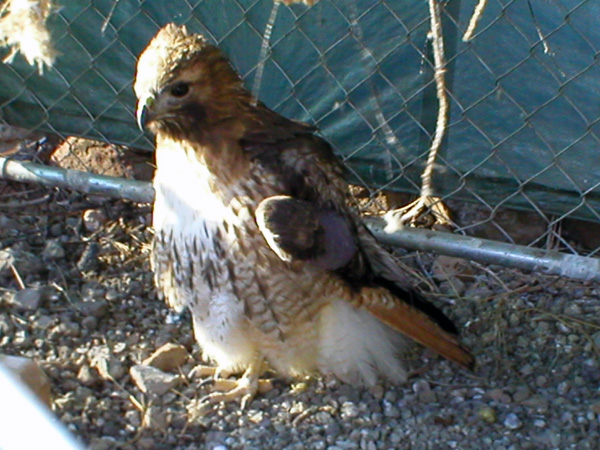 Pirate - Red Tailed Hawk (Buteo jamaicensis)