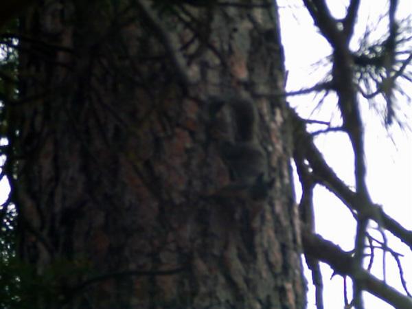 Sparky - Douglas Squirrel