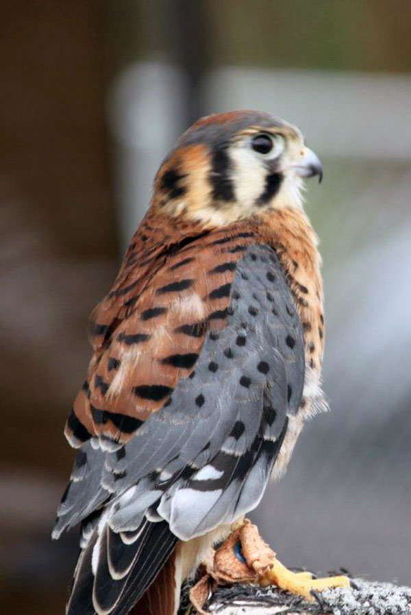 6-1-11 Daily Wildlife Picture Male American Kestrel