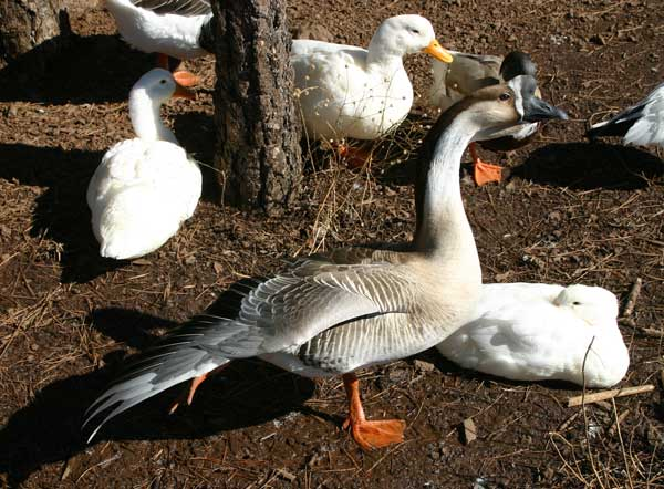 6-10-11 Daily Wildlife Picture Brown Chinese Goose and Pekin Ducks