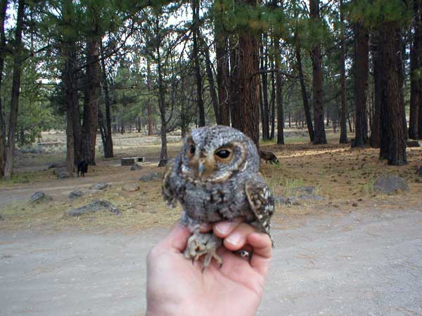 6-16-11 Daily Wildlife Picture Flamulated Owl