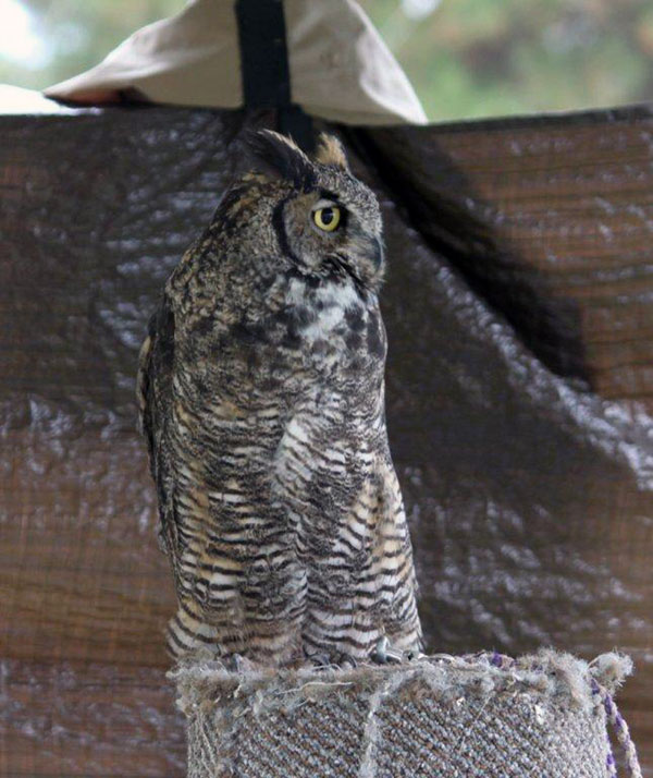 6-18-11 Daily Wildlife Picture Great Horned Owl on Block