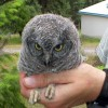 6-19-11 Daily Wildlife Picture Screech Owl Fledgeling