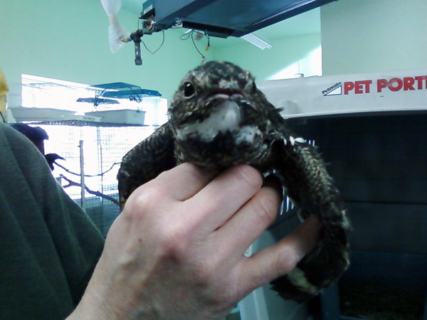 6-20-11 Daily Wildlife Picture Common Nighthawk