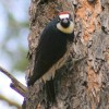 6-21-11 Daily Wildlife Picture Acorn Woodpecker
