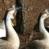 6-22-11 Daily Wildlife Picture Brown Chinese Geese