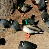 6-23-11 Daily Wildlife Picture Mallard Ducks and American Coots