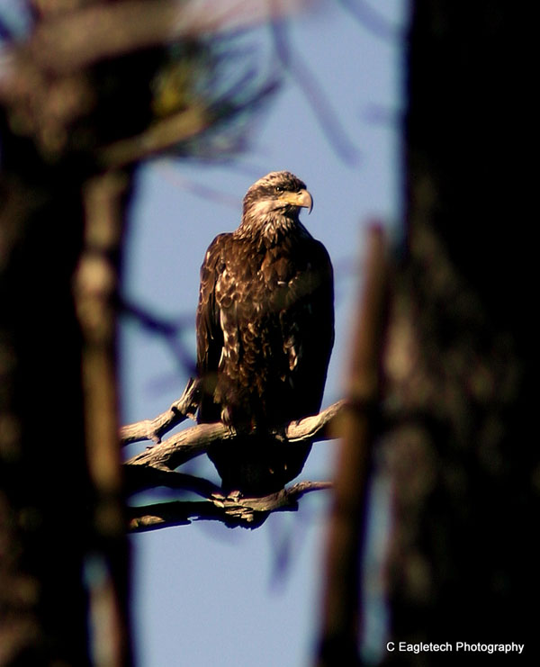 6-24-11 Daily Wildlife Picture Immature Bald Eagle Framed by Trees