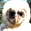 6-25-11 Daily Wildlife Picture Baby Barn Owl Bust