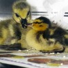 6-27-11 Daily Wildlife Picture Ducklings