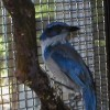 6-28-11 Daily Wildife Picture Scrub Jay