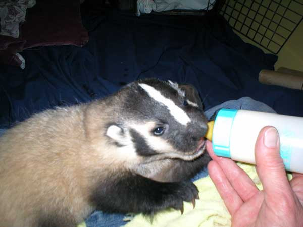 6-29-11 Daily Wildlife Picture Bottle Feeding Baby Badger