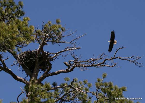 6-3-11 Daily Wildlife Picture Bald Eagle Nest