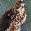 6-5-11 Daily Wildlife Picture Red Tailed Hawk