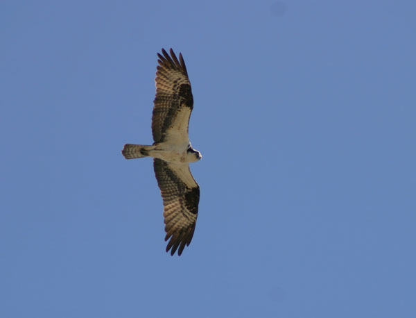 6-7-11 Daily Wildlife Picture Osprey