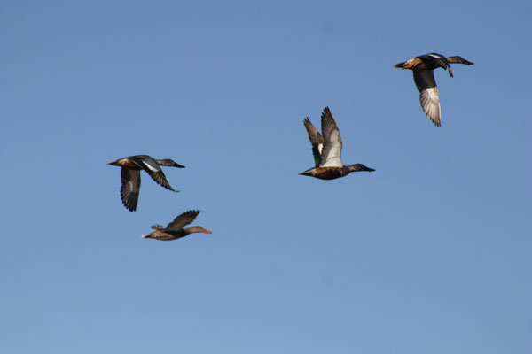 6-8-11 Daily Wildlife Picture Migrating Northern Shovelers