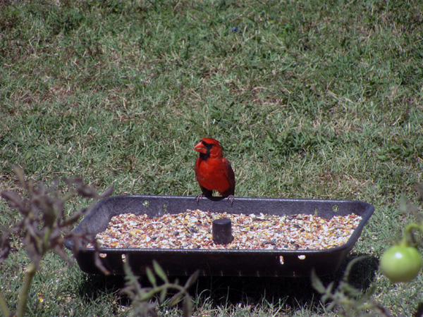 7-1-11 Daily Wildlife Picture Male Cardinal Getting A Snack