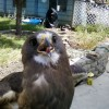 7-2-11 Daily Wildlife Picture Swainsons's Hawk In Your Face
