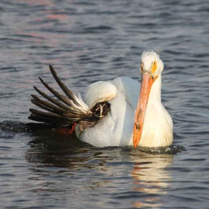 White Pelican injured by a shotgun blast - May 2011 Wildlife Rescue