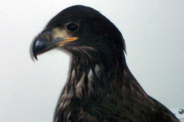 7-10-11 Daily Wildlife Picture Immature Golden Eagle Side Profile