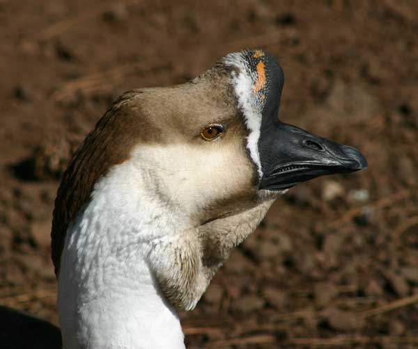 7-12-11 Daily Wildlife Picture Brown Chinese Goose Head