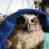 7-13-11 Daily Wildlife Picture Baby Great Horned Owl