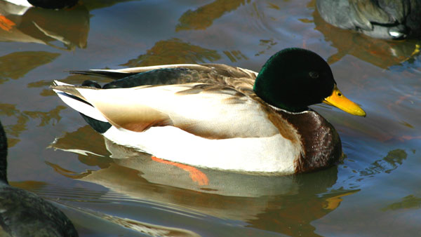 7-15-11 Daily Wildlife Picture Mallard Duck Swimming