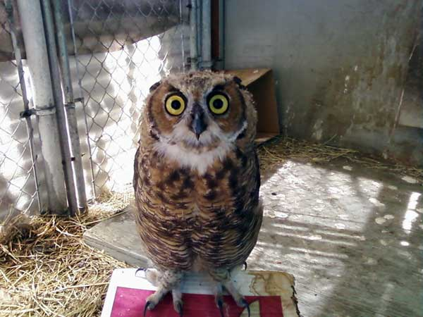 7-17-11 Daily Wildlife Picture Juvenile Great Horned Owl