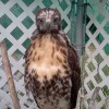 7-19-11 Daily Wildlife Picture Juvenile Red Tailed Hawk