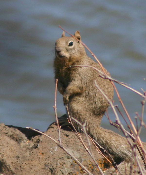 7-20-11 Daily Wildlife Picture Ground Squirrel
