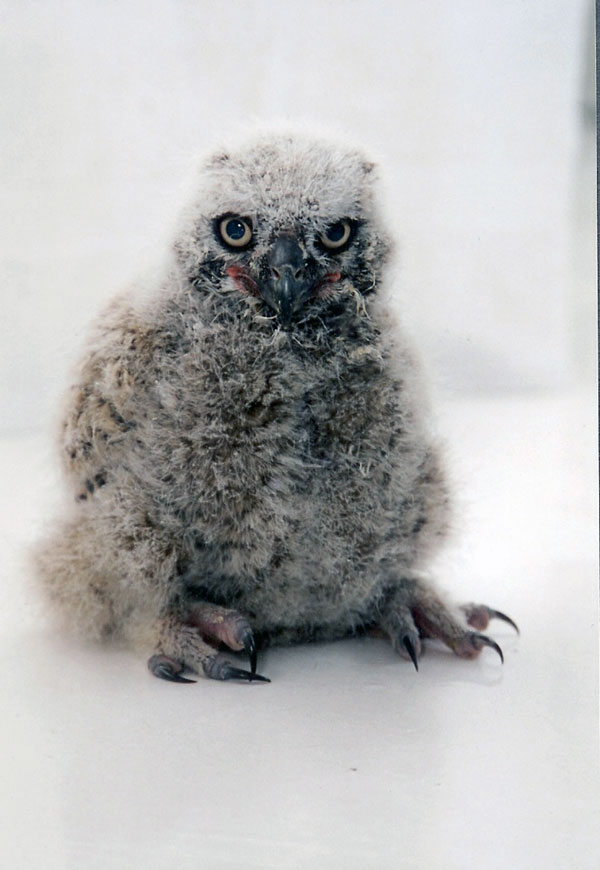 7-24-11 Daily Wildlife Picture Great Horned Owl Fledgling