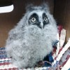 7-25-11 Daily Wildlife Picture Short Eared Owl Baby