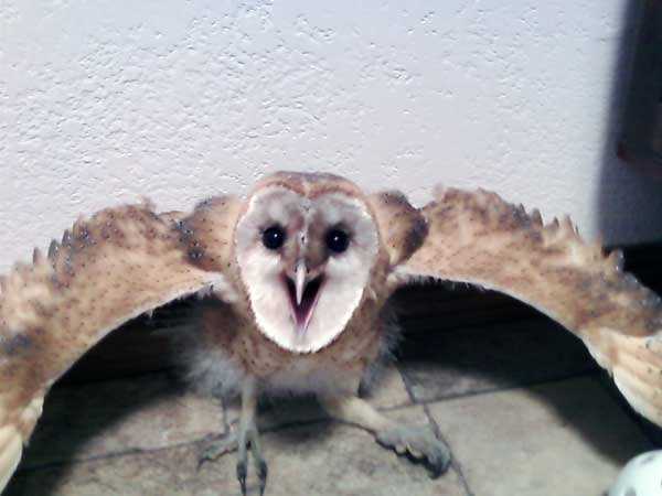 7-29-11 Daily Wildlife Picture Barn Owl Defensive Stance