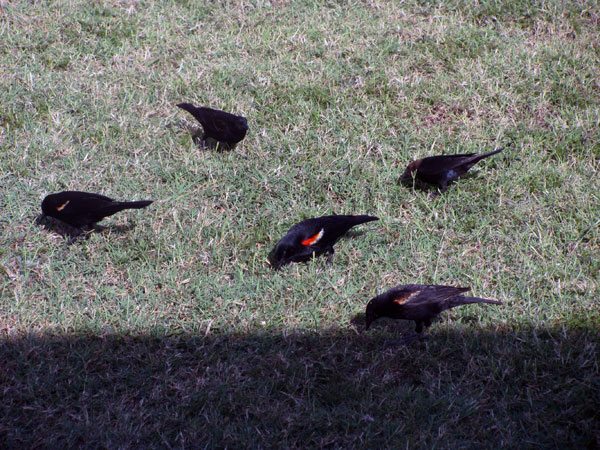 7-3-11 Daily Wildlife Picture Red Winged Black Birds