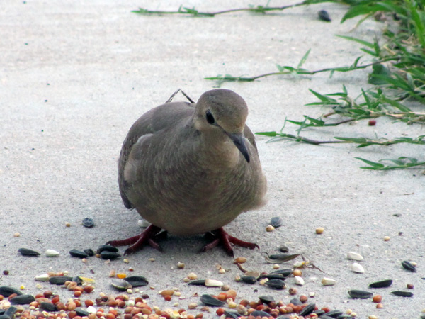 7-5-11 Daily Wildlife Picture Morning Dove