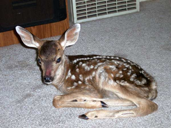 7-8-11 Daily Wildlife Picture Injured White Tailed Deer Fawn
