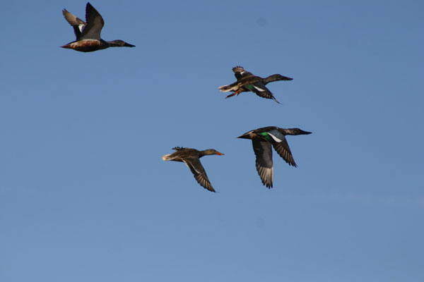 7-9-11 Daily Wildlife Picture Migrating Northern Shovelers