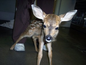 Baby Fawn - Abandoned Triplet White Tailed Deer