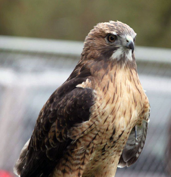 8-10-11 Wildlife Picture Red-Tailed Hawk