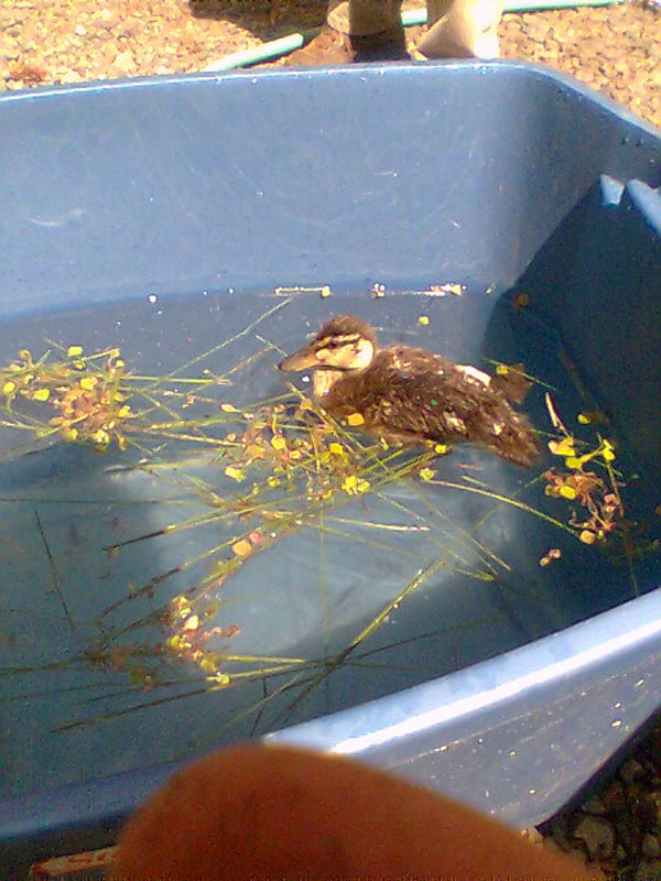 8-13-11 Wildlife Picture Duckling in Pool